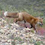 """Red Fox - 11140"" by BartElder"