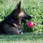 """German Shepherd and his Ball"" by crazyabouthercats"