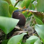 """Green Heron Nest"" by robvena"