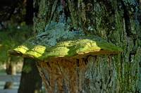 Colorful Fungus Growth on Old Oak Tree