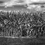 """The Cornfield Harvest"" by lensnation"