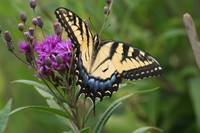 Tiger Swallowtail on Ironweed