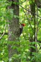 Male Pileated Woodpecker