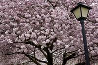 Cherry Blossoms and Lamp, State Capitol, Olympia
