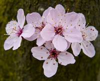 Cluster of Cherry Blossoms, State Capitol, Olympia