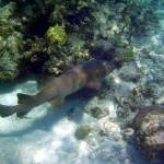 """Belize Nurse Shark"" by SnorkelDude"