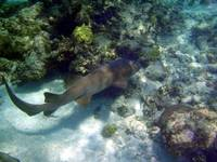 Belize Nurse Shark