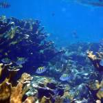 """Belize Mustard Coral and Striped Fish"" by SnorkelDude"