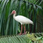 """White Ibis"" by robvena"