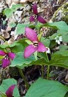 Purple Trillium with Hepetica