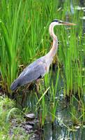 Blue Heron in the Reeds