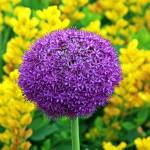 """Purple Allium"" by shopper"