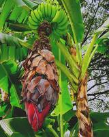 Banana Tree in Flower