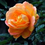 """1 Bloomin Rose"" by NaturePlusStudios"