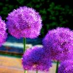 """Allium"" by DigiPix"