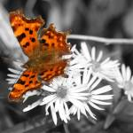 """Colour Butterfly"" by Hevans"