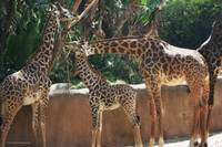 Ungulate Series - Giraffe Family