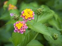 Confetti Lantana with Buds