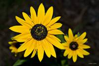 Large Yellow Daisy