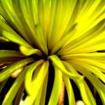 """yellow chrysanthemum"" by shshila"