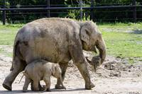 Baby Elephant Beco and Momma Phoebe quite a pair