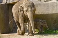 Baby Beco and Mom Phoebe playing at Zoo