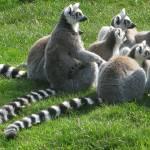 """""""Lemurs"""" by 5teven"""