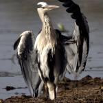 """""""Grey Heron grooming. (Blou Reier) (Ardea cinerea)"""" by wbvs"""