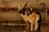 Jackal at water hole