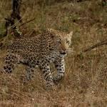"""African Leopard (Panthera pardus) (Luiperd)"" by wbvs"