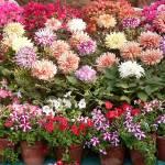 """""""EME Flower Show, Baroda"""" by gitaviswanath"""