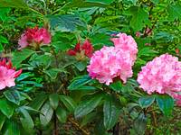 Rhododendron 6