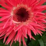 """""""Spring Gerber Daisy Flower"""" by kalabart"""