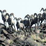 """""""Bighorn Sheep - 9330"""" by BartElder"""