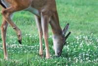 Tip-toe Through The Clover
