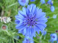 The Blue'ish Flower