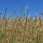 """Whole Grain ... real whole!"" by JeanDavisOlecki"