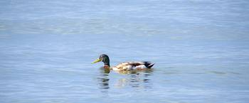 Chesapeake Bay Mallard