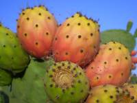 Spiny fruits