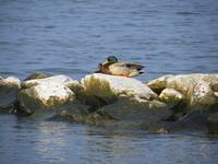 Duck on the Rocks
