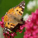"""painted-lady"" by johnbennettDERBYuk"