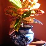 """Croton Plant in Talavera Pot"" by AmyVangsgard"