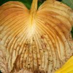 """Brown Hosta Leaf Curling at Tip"" by kalabart"