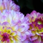 """Three Cheery Dahlias on Black Background"" by kalabart"