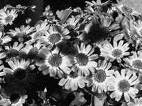 charcoal daisies