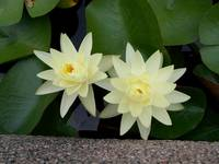 A Pair of Water Lilies