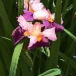 """""""Iris"""" by SusanMHickam"""