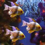 """Three Pajama Cardinalfish"" by AmyVangsgard"