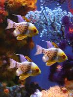 Three Pajama Cardinalfish