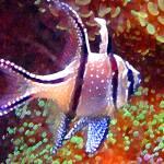 """""""Banggai Cardinalfish"""" by AmyVangsgard"""
